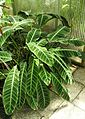 Korbmarante (Calathea zebrina).jpg