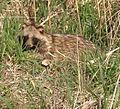 Korean raccoon dog.jpg