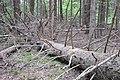 Kritusi egle, Skrundas pagasts, Skrundas novads, Latvia - panoramio.jpg