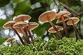 Kuehneromyces lignicola (Peck) Redhead 330156.jpg