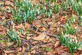 Kvetoucí sněženky v PP Sněženky ve Vysokém lese 27.jpg