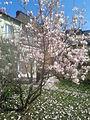 Kwitnąca magnolia.jpg