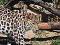 Léopard du parc de la Tête d'Or.jpg