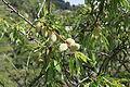 La Palma - Puntagorda - El Roque - Prunus dulcis 01 ies.jpg