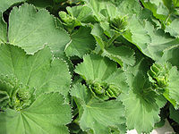 Lady's Mantle Alchemilla vulgaris 2816px.jpg