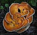Laetiporus cincinnatus (Morgan) Burdsall, Banik, & Volk 902654.jpg
