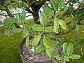Lagunaria patersonii - Zweige.jpg
