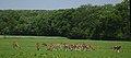 Lainzer Tiergarten (1) IMG 1551.jpg