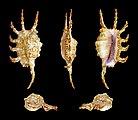 Lambis scorpius indomaris 01.JPG