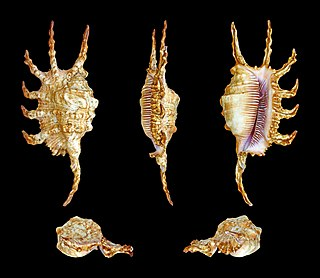 <i>Lambis scorpius</i> species of mollusc