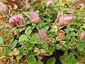 Lamiales - Origanum amanum - 3.jpg