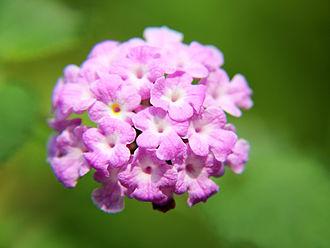 Lantana camara - L. camara var., in China, from Flower View