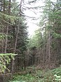 Larches, Elibank and Traquair Forest - geograph.org.uk - 536027.jpg