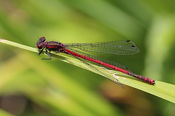 Large red damselfly (Pyrrhosoma nymphula) male Dry Sandford.jpg