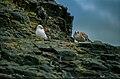 Larus dominicanus (js) 04.jpg