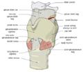 laryngomalacia diagram - photo #44
