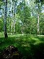 Las brzozowy w letniej szacie - panoramio (3).jpg