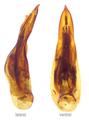 Lathrobium pallidipenne Hochhuth, 1851 Genital.png