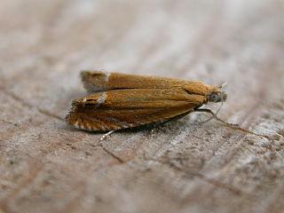 <i>Lathronympha</i> Genus of tortrix moths