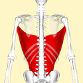 Latissimus dorsi muscle frontal3.png