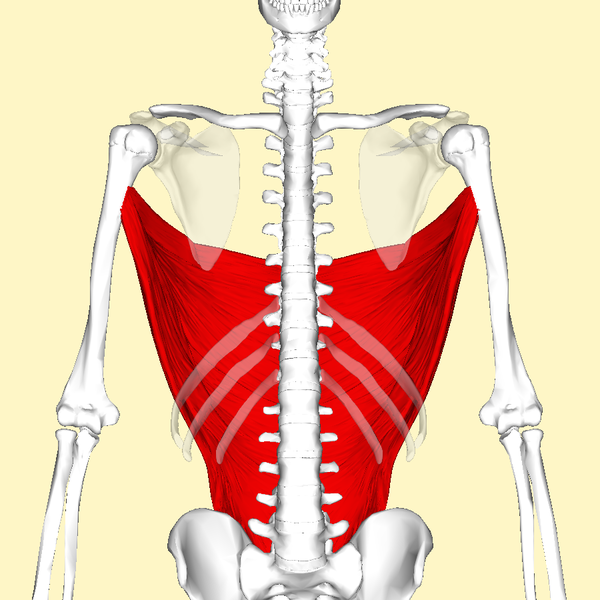 File:Latissimus dorsi muscle frontal3.png - Wikimedia Commons