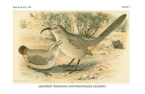 LeConte's thrasher - LeConte's thrasher illustration from Merriam, 1895