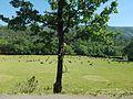 Le troupeau de chèvres à la Sainte Victoire.jpg