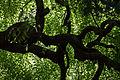 Leaves, Weeping Japanese pagoda tree - Flickr - nekonomania.jpg