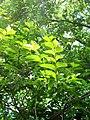 Leaves (2660768555).jpg