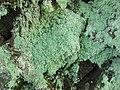 Lecanora anakeestiicola Lendemer & E. Tripp 237444.jpg