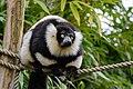 Lemur (26992466868).jpg
