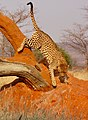 Leopard (37072883553).jpg