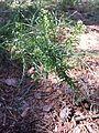 Lepidium virginicum sl4.jpg