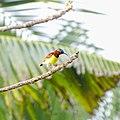 Leptocoma zeylonica, Purple rumbed sunbird .jpg