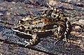 Leptodactylus latinasus.jpg