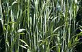 Les Plantes Cultivades. Cereals. Imatge 1796.jpg