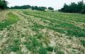 Les Plantes Cultivades. Cereals. Imatge 188.jpg