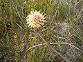 Leucospermum pedunculatum Tony Rebelo 2.jpg