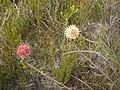 Leucospermum pedunculatum Tony Rebelo 3.jpg