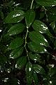 Leucothoe fontanesiana 4zz.jpg