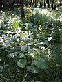 Ligularia sibirica sl6.jpg