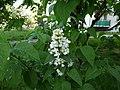 Lilak biały - panoramio.jpg