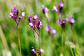 Linaria canadensis05.jpg