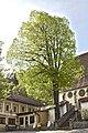 Linde Hirschbach Naturdenkmal.jpg