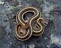Lined Snake (Tropidoclodion lineatum) (8710343713).jpg