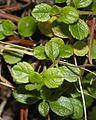 Linnaea borealis (leaf).JPG