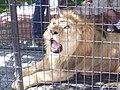 Lion in captivity.JPG