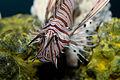 Lionfish (Pterois volitans) 2.jpg
