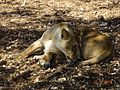 Lions in gir forest national park.jpg