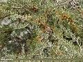 Little Bunting (Emberiza pusilla) (31652572257).jpg